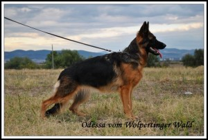 Odessa vom Wolpertinger Wald(SG 1 Erro v. Rado XI & SG Ginnie vom Wolpertinger Wald)